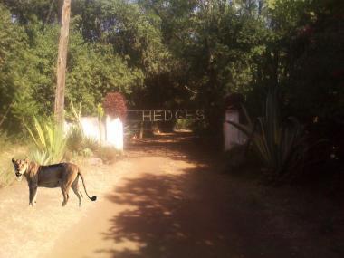 Lions in Langata?