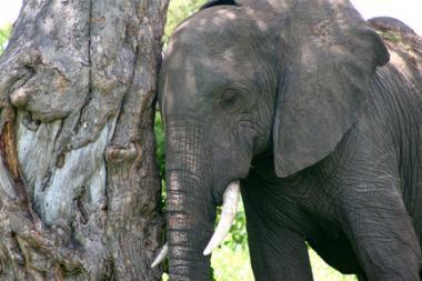 Retired Elephants